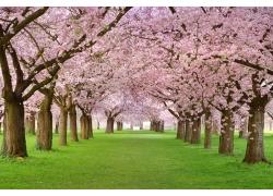 美丽樱花草地风景