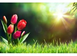 光下的美丽郁金香花朵