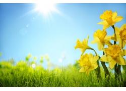 春天草地水仙花
