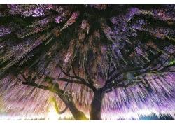 摄影,景观,紫藤,树木,花卉,弹簧,阳光377936