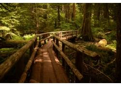 人行天橋,路徑,俄勒岡,木表面,松樹,景觀533307
