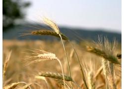 麦穗小麦植物风景风光景观照片