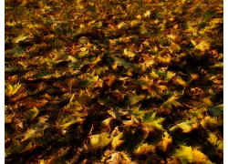 满地的枫树枯叶