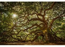 阳光穿透百年大树