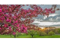 清晨盛开的粉色桃花